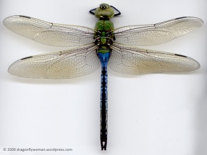 Anax junius adult