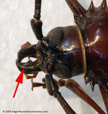 palo verde beetle head