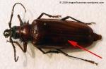 palo verde beetle