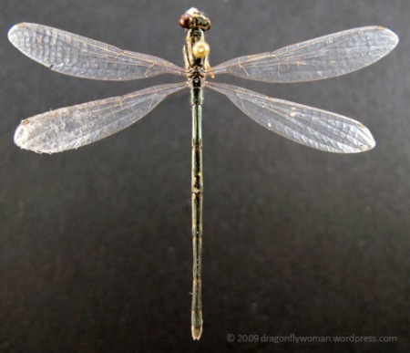 damselfly adult