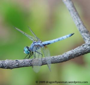 Pachydiplax longipennis