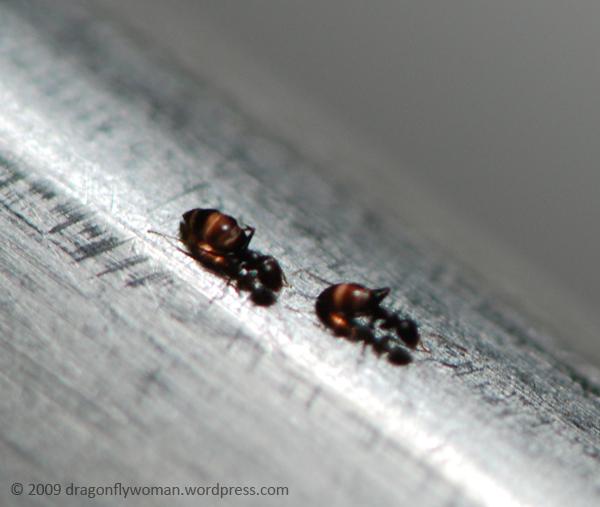 Brachymyrmex ants