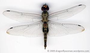 Spot-winged glider male (Pantala hymenaea)