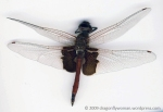 Red saddlebags male (Tramea onusta)