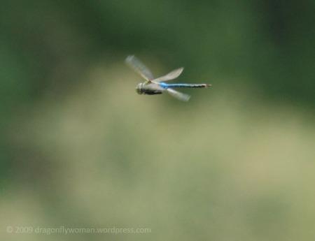 green darner in flight