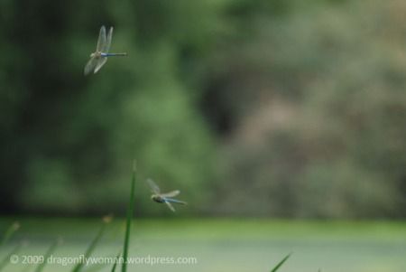 green darners in flight