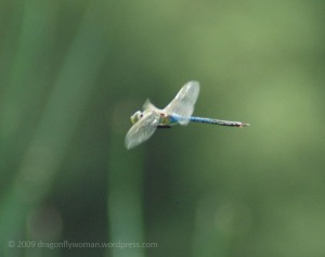 green darner in flight