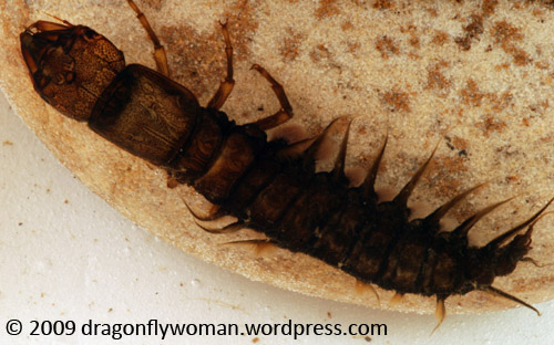 Hellgrammite (Corydalus cornutus)