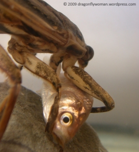 Lethocerus indicus eating a small fish