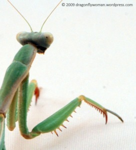 Mantid raptorial foreleg