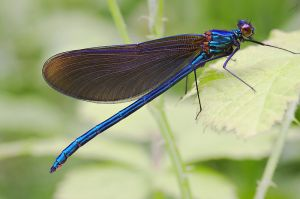 Calopteryx virgo male