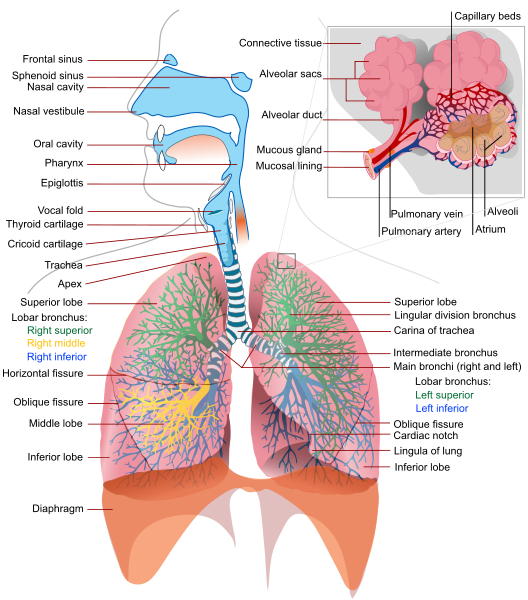 human respiratory system | The Dragonfly Woman