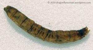 Crane fly larva