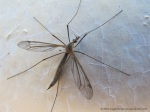 crane fly side view