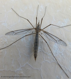 crane fly top view