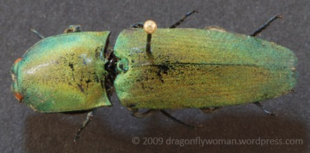 Chalcolepidius ostentus