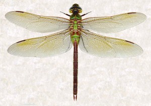 anax junius female