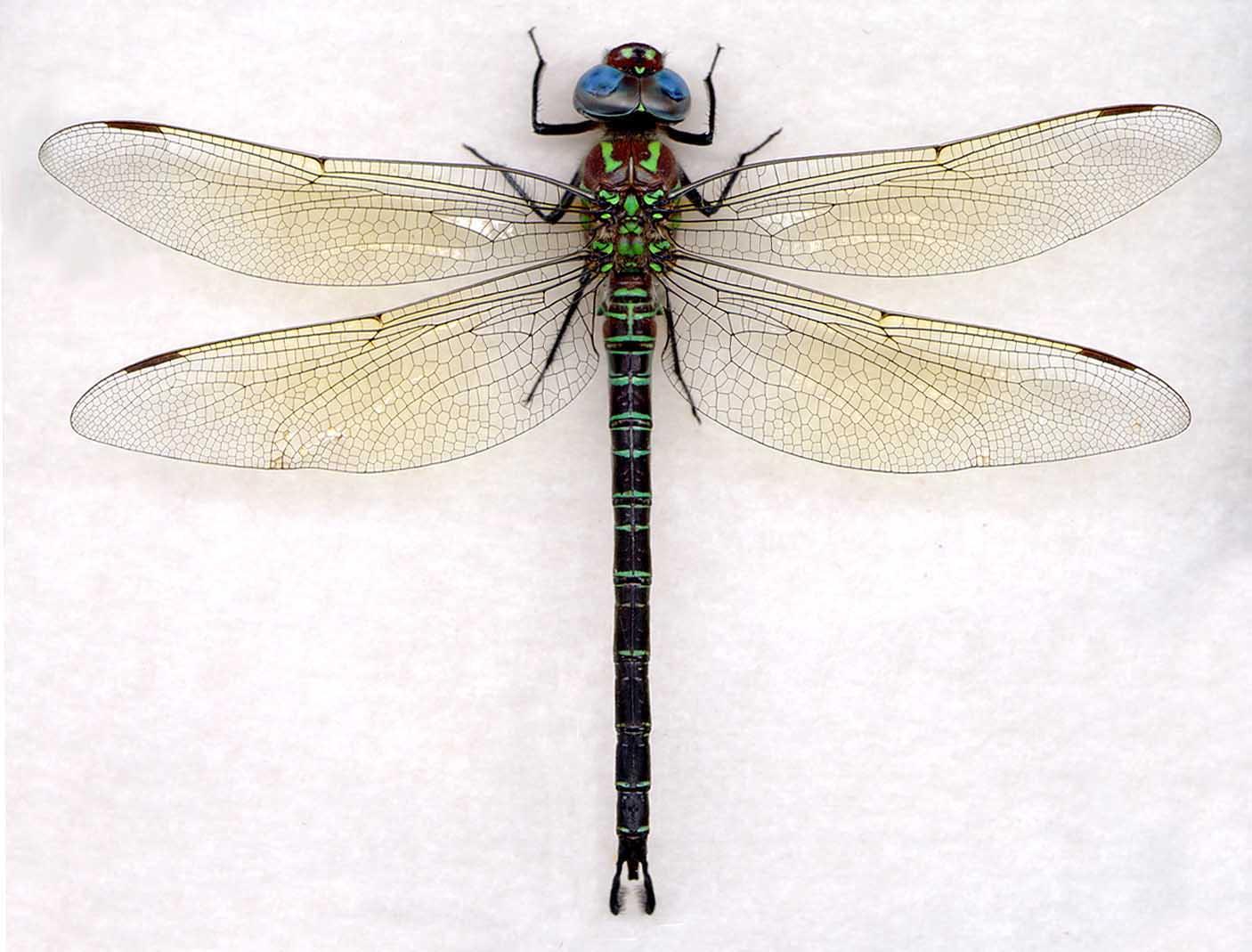 epiaeschna heros | The Dragonfly Woman