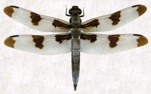 libellula pulchella
