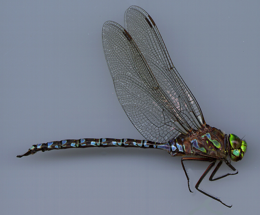 how to draw a dragonfly side view