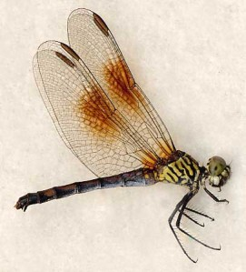 Erythemis berenice female