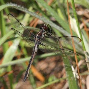 Libellula axilena female