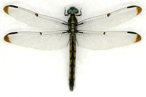 Libellula vibrans female
