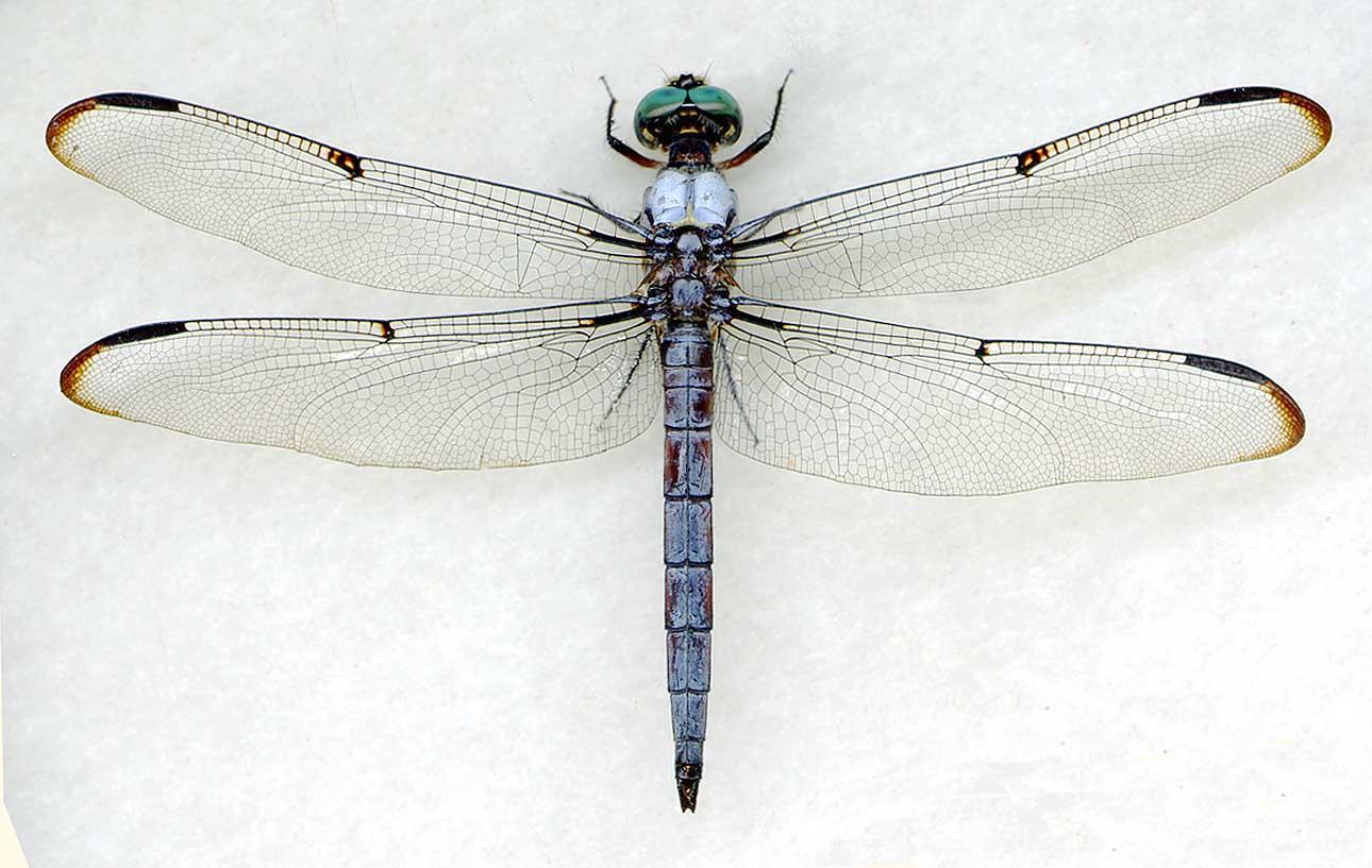 libellula-vibrans-male.jpg