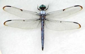 Libellula vibrans male