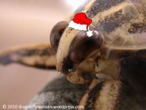 Lethocerus as Santa