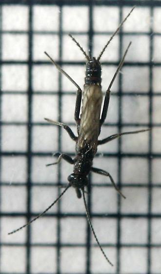 Capniid stonefly
