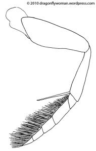natatorial leg