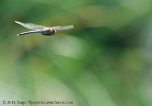 Anax junius in flight