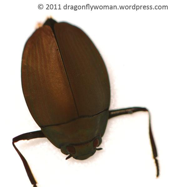 Dineutus sublineatus