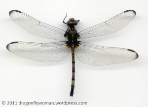 Dythemis nigrescens female