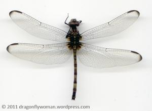 Dythemis nigrescens female