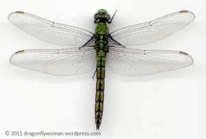 Erythemis collocata female