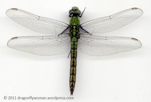 Erythemis collocata female