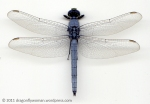 Erythemis collocata male