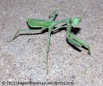 mantid at night
