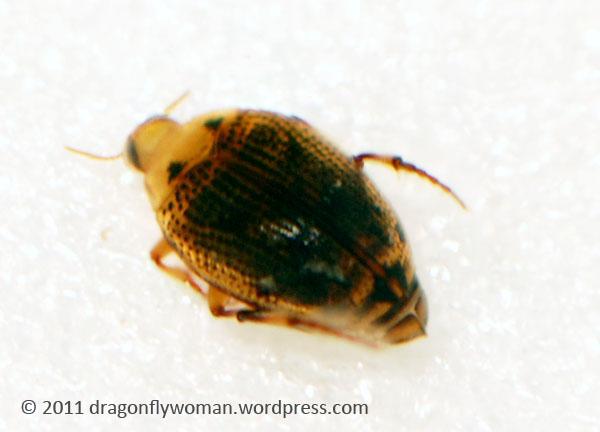 Peltodytes sp.