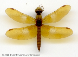 Perithemis intensa male