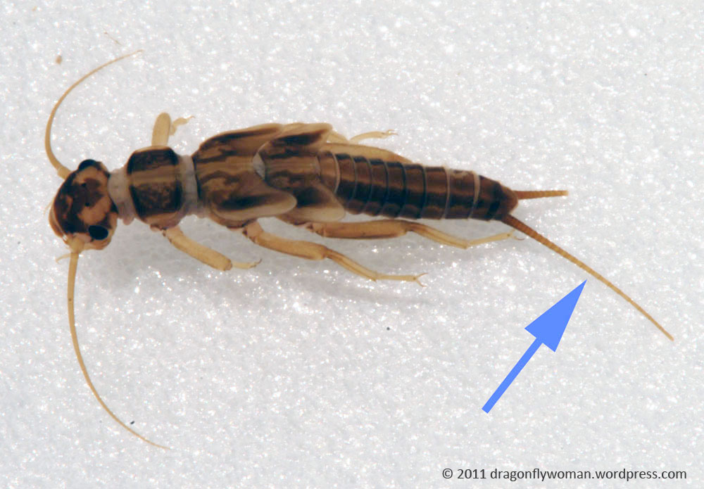 winged termite identification