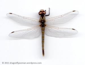 Symetrum corruptum female