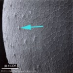 Abedus egg top,showing aeropyles