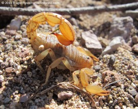 Hadrurus arizonensis giant hairy scorpion