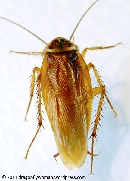 Bugs That Look Like Cockroaches But Arent
