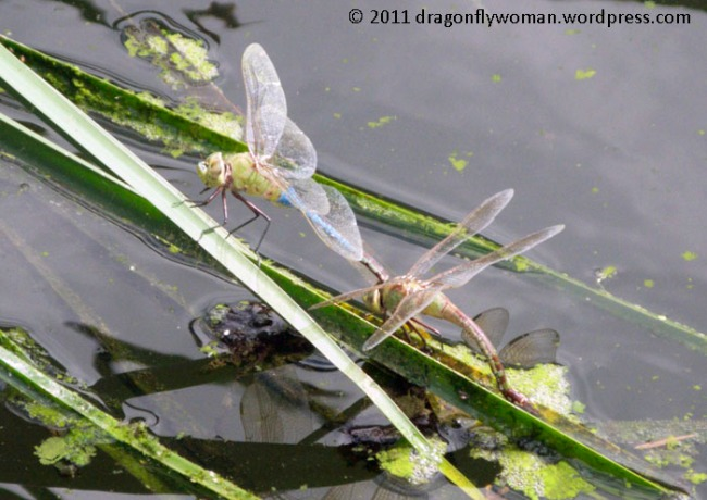 Anax laying eggs