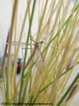 Crane fly