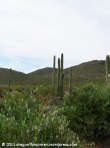 More Sonoran Desert